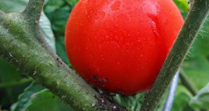 Processing of tomatoes with boric acid during flowering