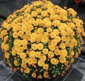 planting chrysanthemum in autumn