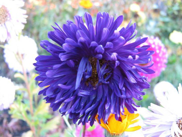 the legend about the flower aster
