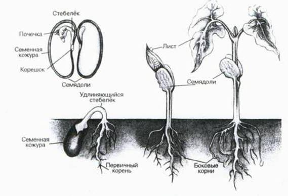 features of the structure of the root